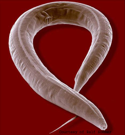 Nematode Worm